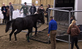 Tour_loading_horse_in_trailer